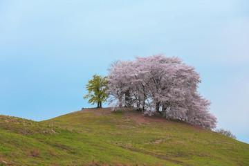 白石稲荷山古墳の桜