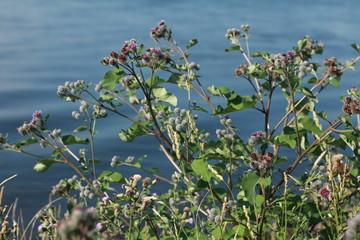 thistle flowers national symbol of Scotland