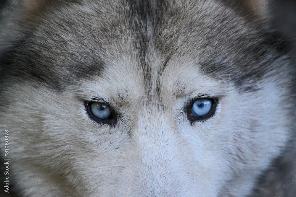 pies dziki zwierzę - powiększenie