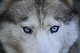 Portrait d'un loup aux yeux bleus