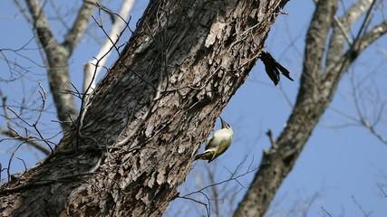 野鳥ヤマゲラの映像