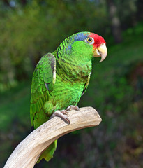 Red Crowned Amazon Parrot