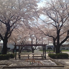 last days of sakura blossom