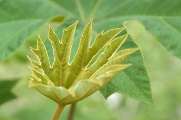Tetrapanax papyriferus leaf