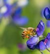 Bee pollinating Texas bluebonnet flower in the spring