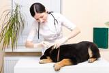 Veterinarian dripping ear puppy German Shepherd