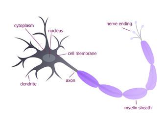 Neuron described illustration