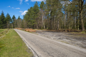 Road through a pine forest in spring