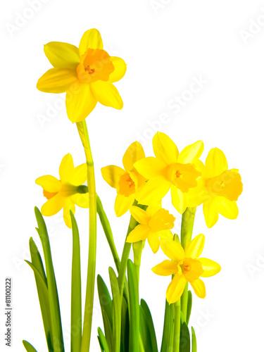 Papiers peints Narcisse freigestellte Osterglocke