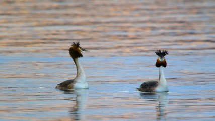 great crested grebe. marriage, season