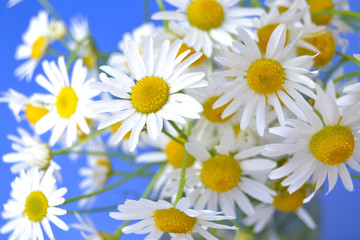 Daisies on a blue background