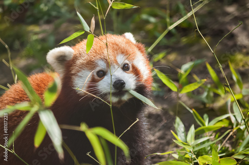 Poster Panda Liitle small cute red panda eating bamboo