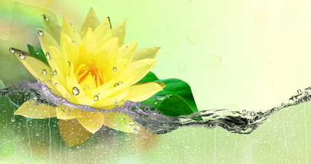 Gold,yellow Lotus in the refreshing spray of water.
