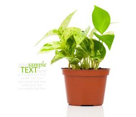 Epipremnum aureum (family Araceae) plant in pot, isolated on whi