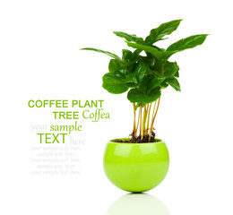 coffee plant tree growing seedling in soil pile isolated on whit