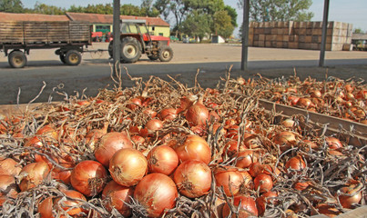 Onions in a warehouse after harvest