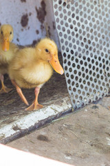 small yellow ducks walk in summer sunshine