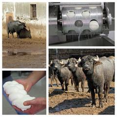 Buffalo mozzarella production on italian farm in Campania