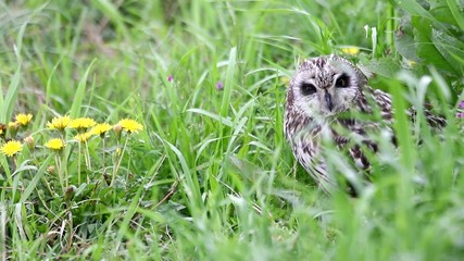 Short-eared Owl with flower (Asio flammeus) in Japan