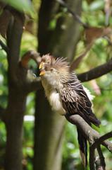 Guira Cuckoo (Gui. g.)