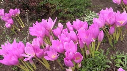 Pink crocus saffron flowers grow in botanical garden in autumn.