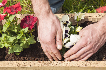 Man planting some pansies and surfinias outside in the garden