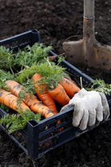 Picking carrots. patch vegetable
