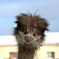 Emu. Sweet ostrich