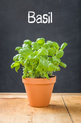 Basil in a clay pot on a dark background