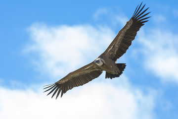Griffon vulture in Duraton Canyon Natural Park in Segovia, Spain