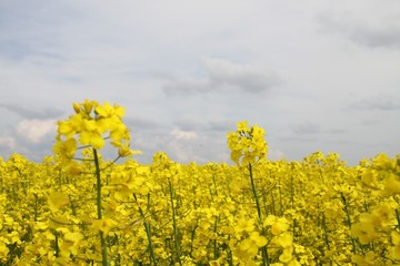 Rapeseed flowers at field