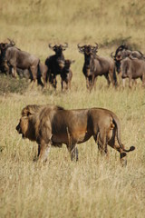 Lion hunts wildebeests at African savannah