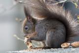 Eichhörnchen mit Erdnuss Nahaufnahme