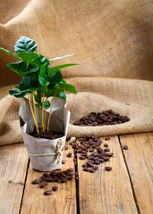 coffee plant tree in paper packaging on sackcloth, wooden backgr
