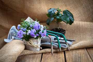Campanula terry flowers with gardening tools, on sackcloth, on w