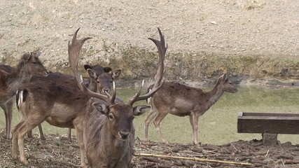 Red Deer in the nature