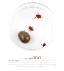 Research of the tick Ixodes ricinus