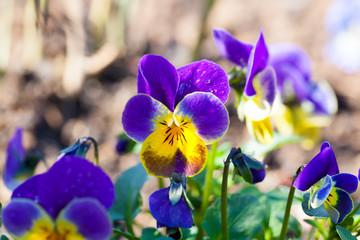 garden pansy (pansies, Viola, Viola tricolor)