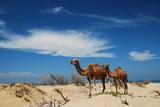 Dromadaires dans les dunes