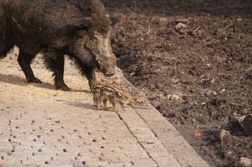 Sus scrofa - Wild Pig