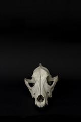 Dog skull photography. Frontal, isolated, black background