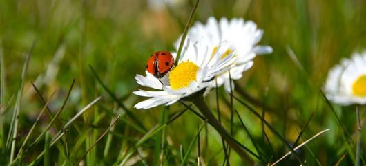 Frühlingswiese - Marienkäfer und Gänseblümchen