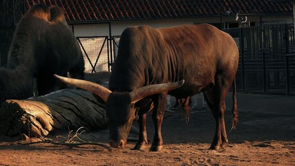 Long-Horned Cow In The Evening Sun