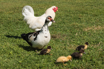 Muscovy duck guarding ducklings