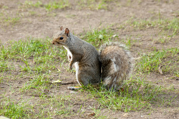 Grey squirrel in the meadow with a bushy tail up