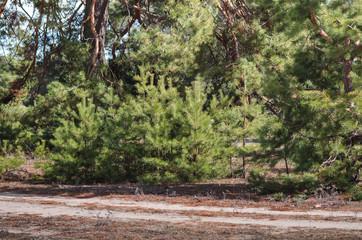 Beautiful green pines