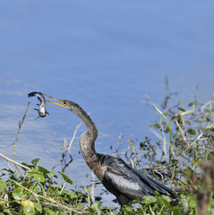 Anhinga Downing A Fish