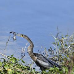 Anhinga Downing A Fish