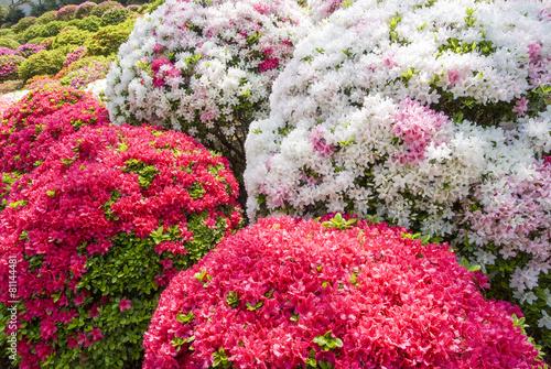 赤白ピンクのツツジの花