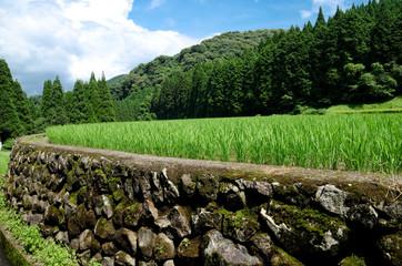 夏の幸田の棚田の稲